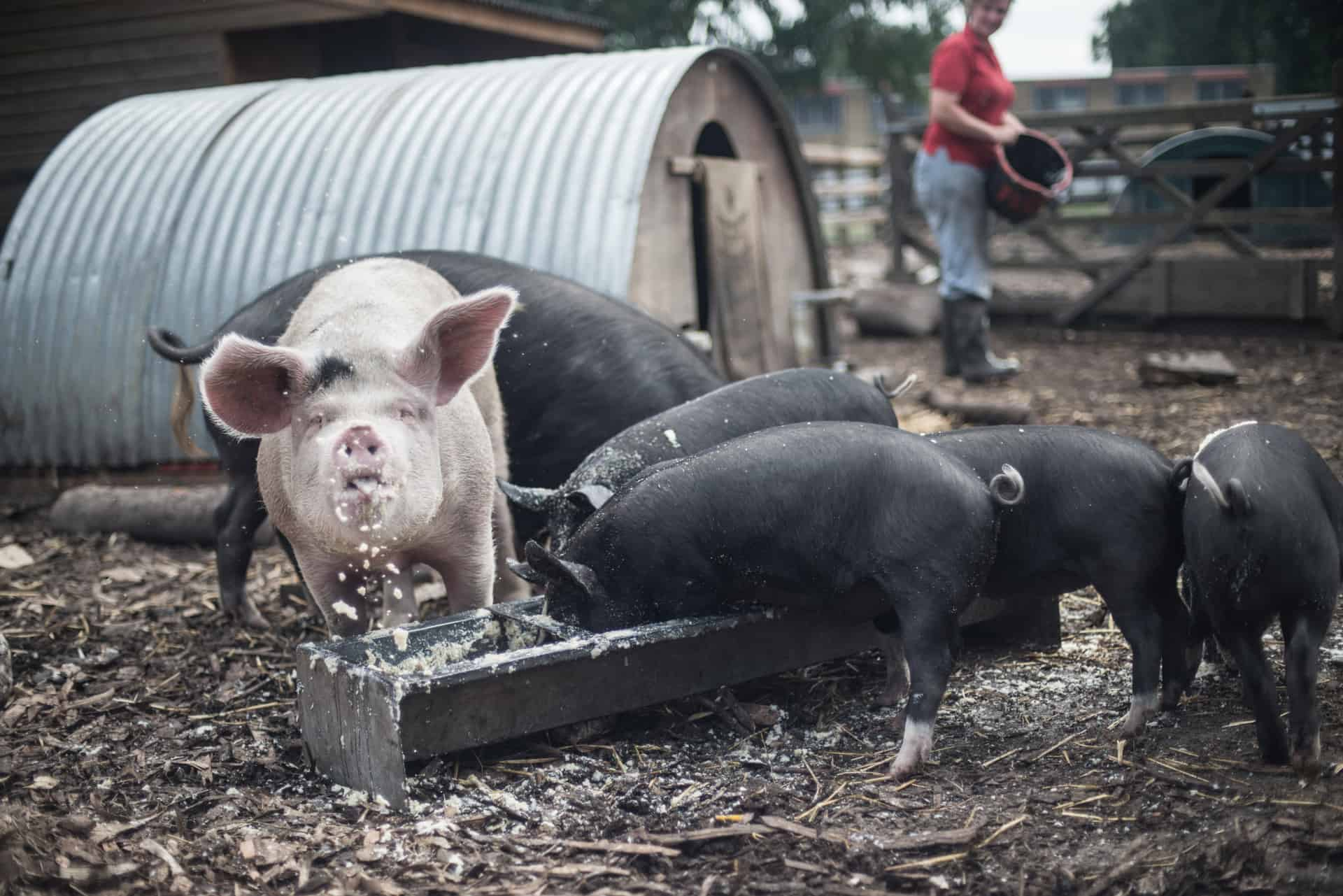 The Pig Idea campaign - Documentary Photography by Chris King for Open Eye Media